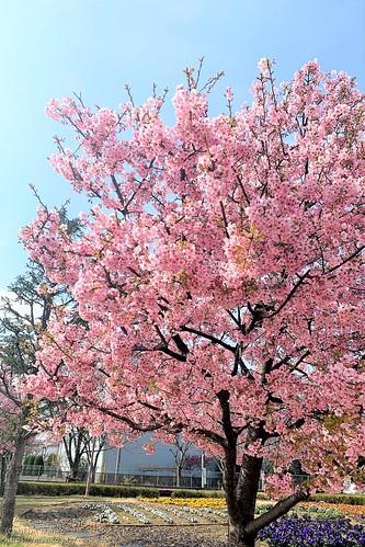 河津桜 20200229-IMG_6889