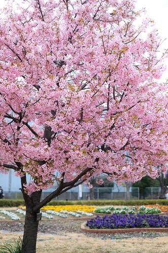 河津桜 20200229-DSCT2459 (2)