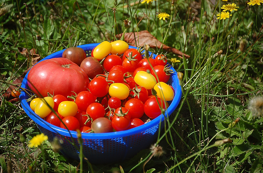 _tomatoes_4_