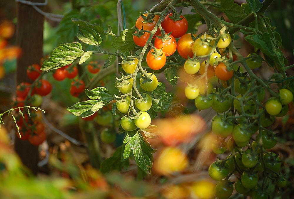 _tomatoes_2_