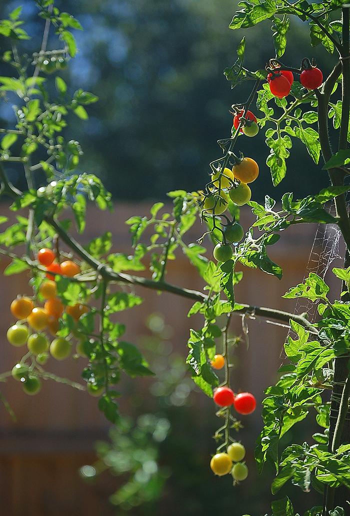 _tomatoes_1_