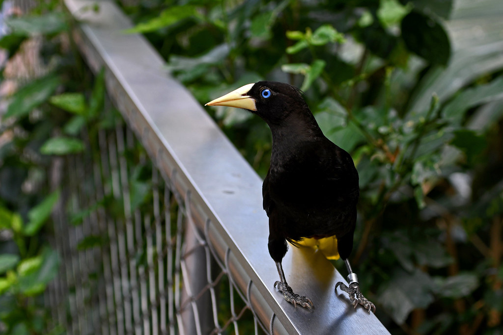 Crested Oropendola (National Aviary)