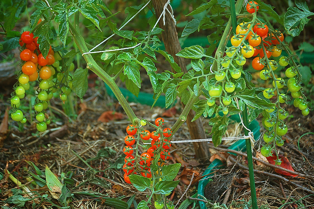 _tomatoes_3_