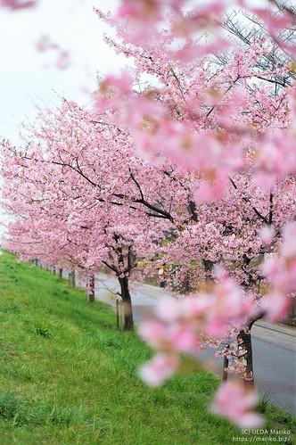 河津桜 20200229-DSCT2475 (3)