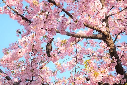 河津桜とムクドリ 20200224-DSCT1895 (2)