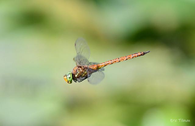 Green-eyed hawker/Vroege Glazenmaker/Aeshna isoceles