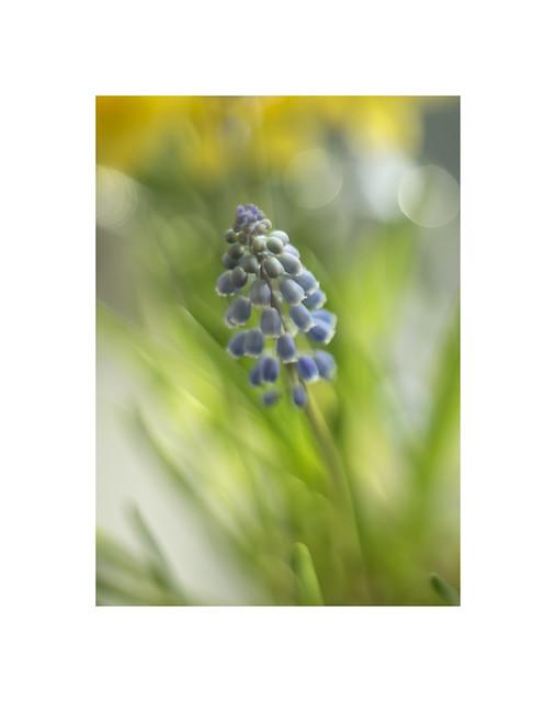 Muscari  (Grape hyacinth )