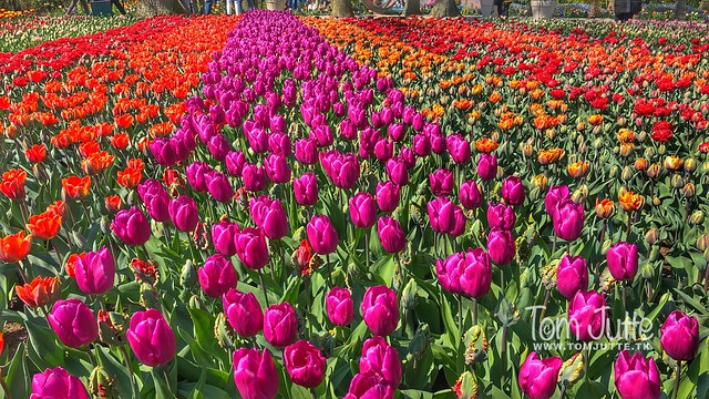 Flowers in the Keukenhof Gardens, Lisse, Netherlands - 2453