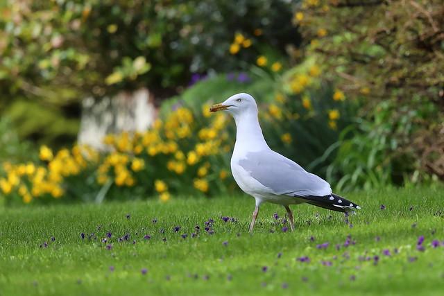 Spring Gull
