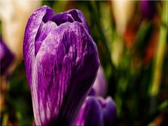 Macro shot of a  Crocus blossom