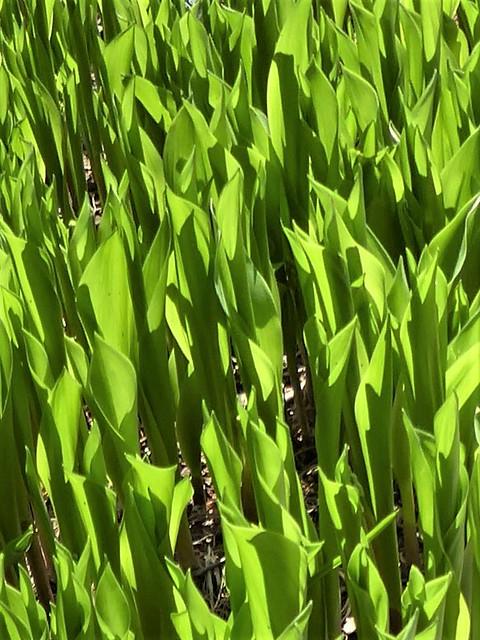 Lisle, IL, Morton Arboretum, Leaves in the Sun