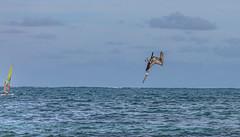 Guadeloupe - Pélican à Ste Anne-3