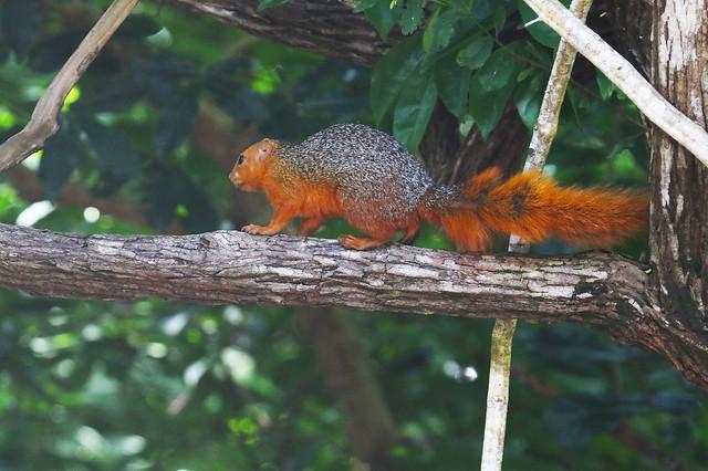 Squirrel, Kenya.