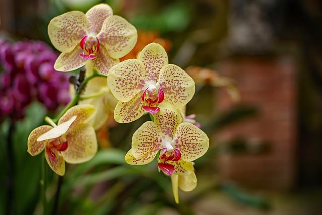 Orchidmania