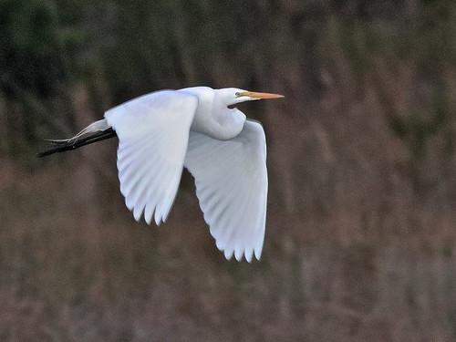 Great Egret in flight 03-20200301