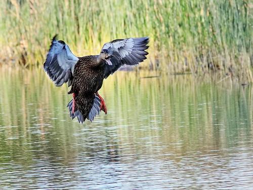 Mottled Duck landing 02-20200301