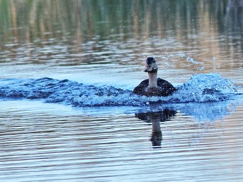 Mottled Duck landing 06-20200301