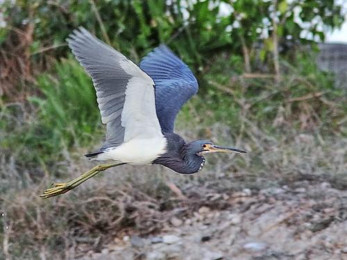 Tricolored Heron in flight 04-20200301