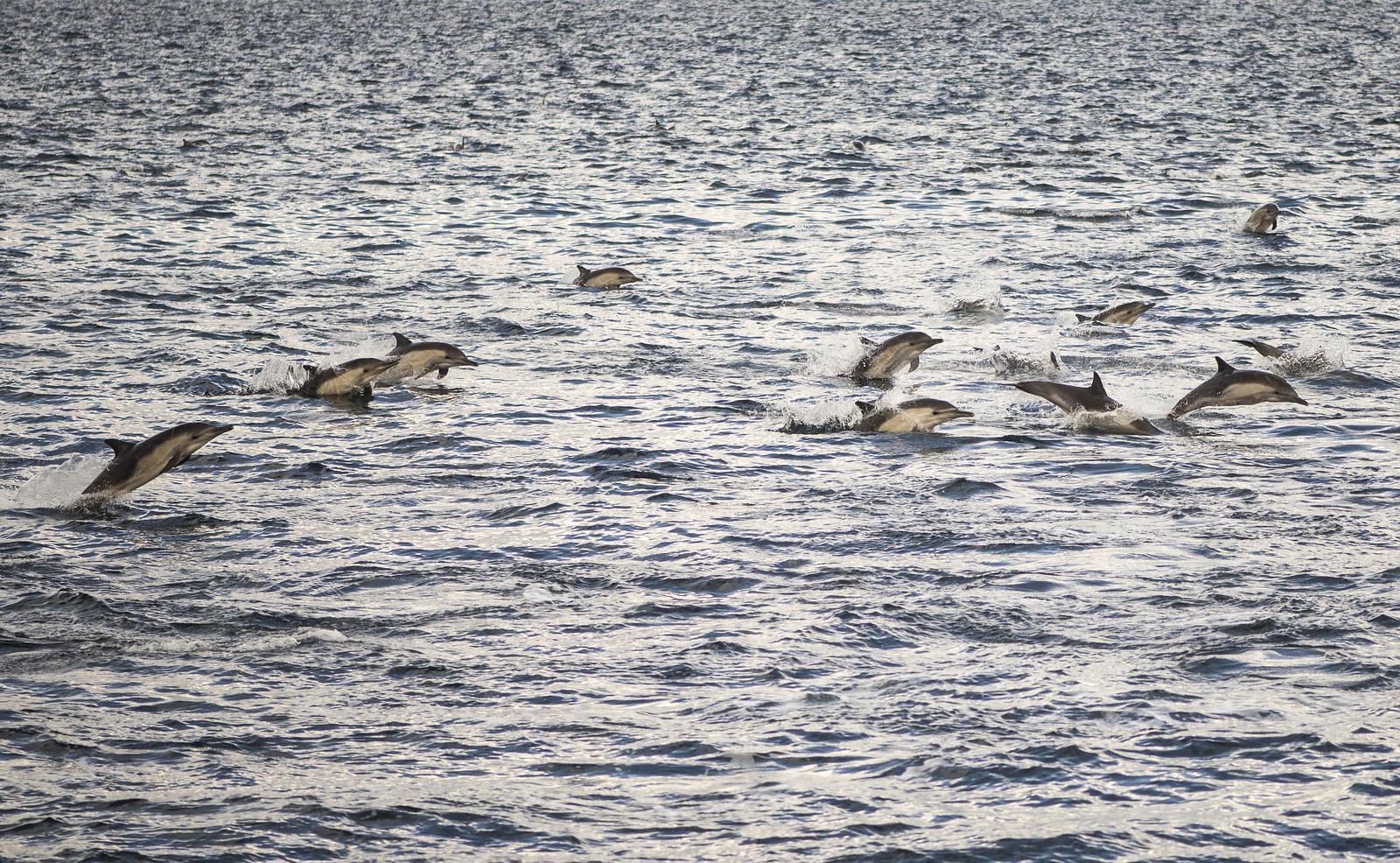 Common Dolphins - Santa Cruz Return