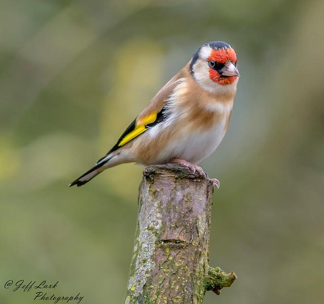 JWL3398  Goldfinch...