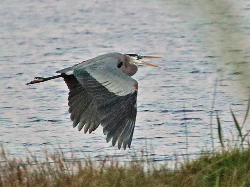 Great Blue Heron in flight 20200301