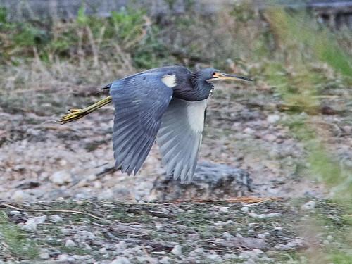Tricolored Heron in flight 05-20200301