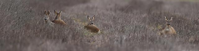 chevreuil (Capreolus capreolus) Deer