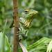 Green garden lizard P1210475