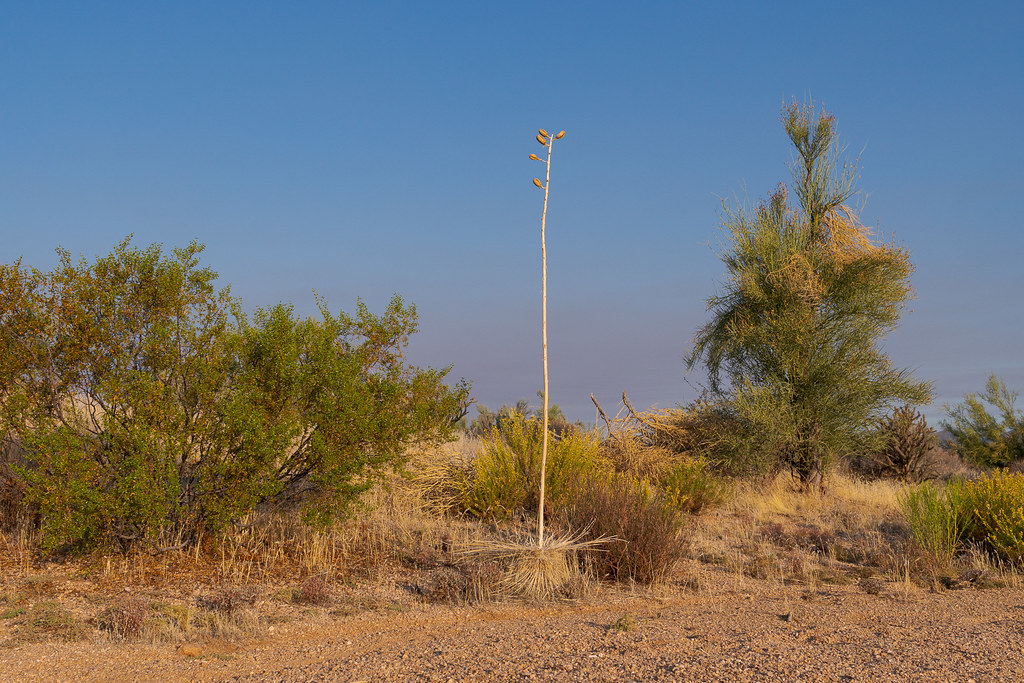 A small soaptree yucca with a tall flower stalk grows next to the 118th Street Trail in McDowell Sonoran Preserve in Scottsdale, Arizona in October 2019