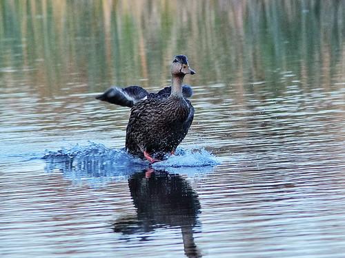 Mottled Duck landing 05-20200301