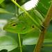 Green garden lizard P1190927
