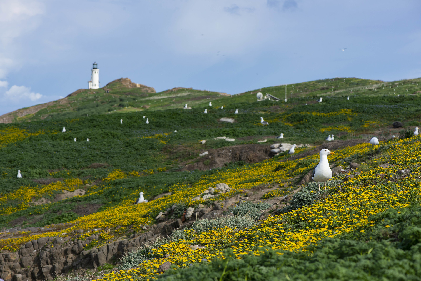 Anacapa Western Gull