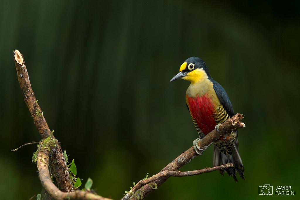 Benedito-de-testa-amarela | Carpintero Arcoiris