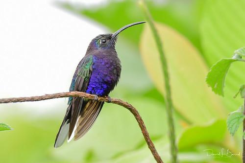 Violet sabrewing - Costa Rica 2020