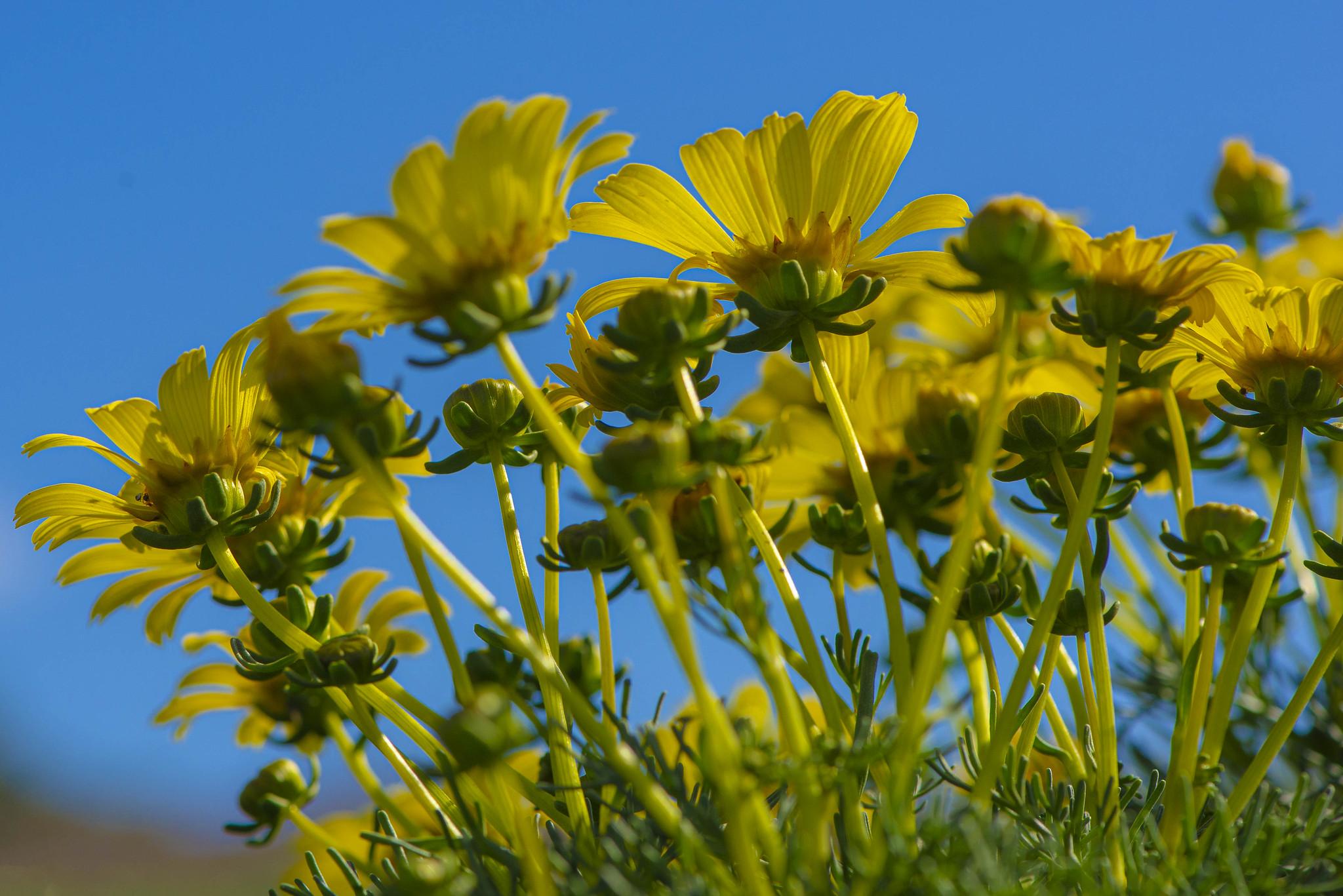 Anacapa - Flowers