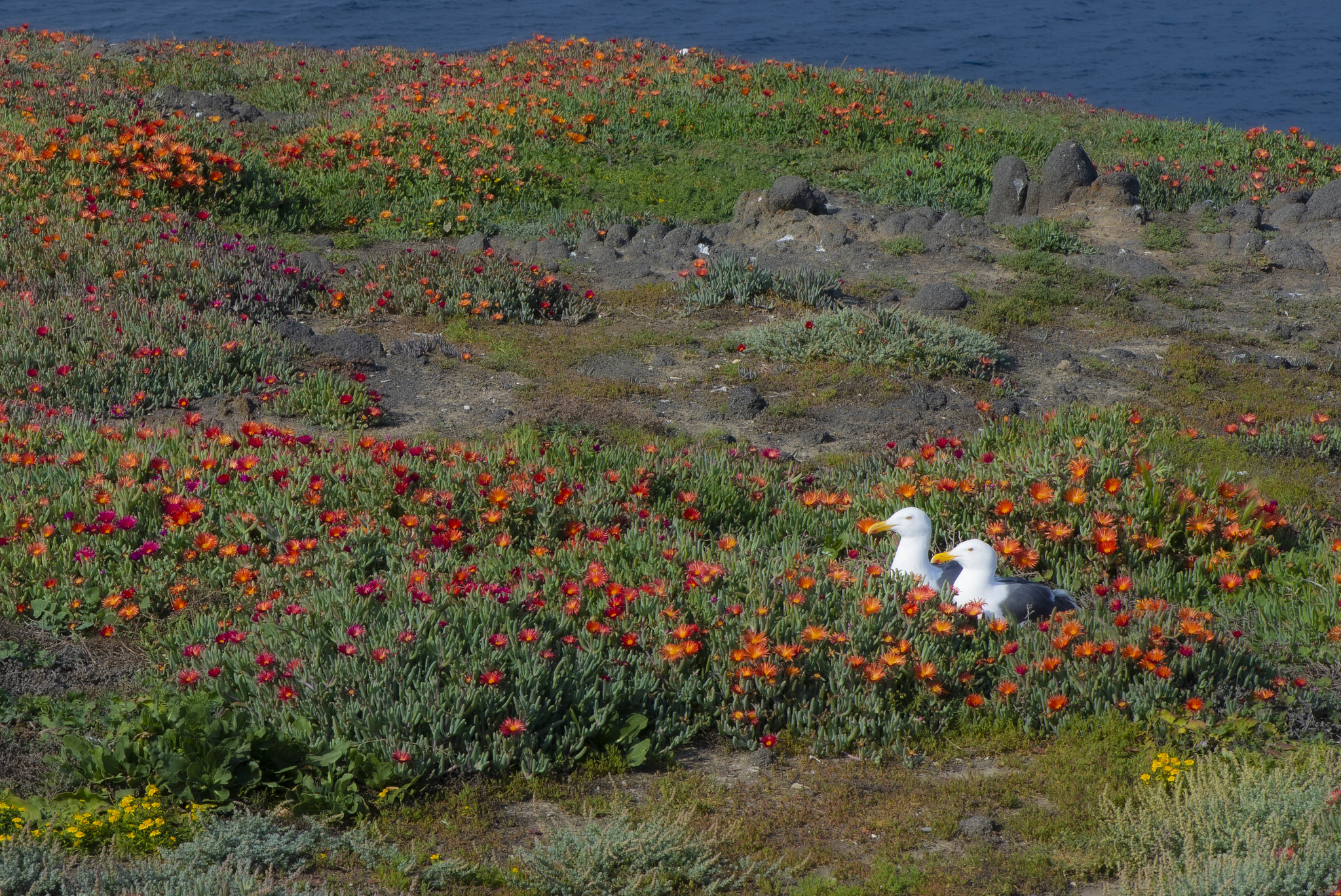 Anacapa - Couple in Ice Plant Blooms
