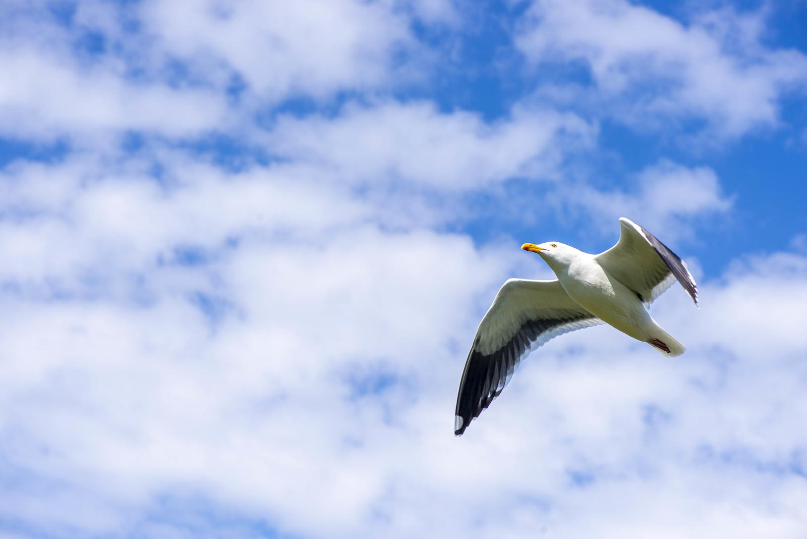 Anacapa - Western Gull