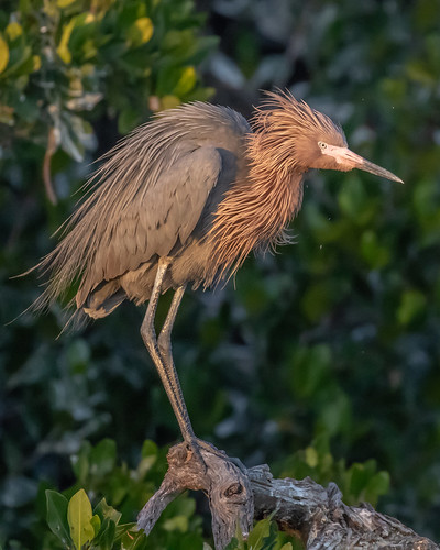outdoor dennis adair nature wildlife 7dm2 7d ii ef100400mm canon florida bird reddish dark egret red