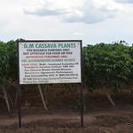 GM Cassava_CFT