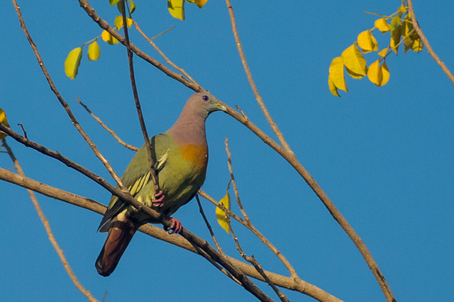 Pink-necked Green Pigeon  - male