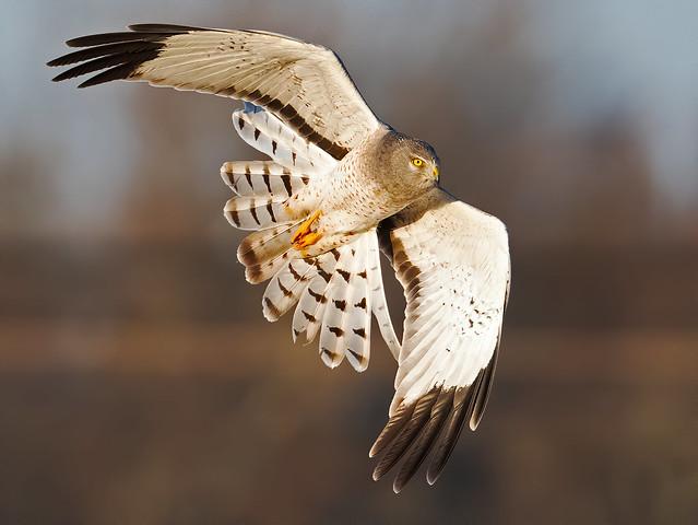 Male Northern Harrier aka Gray Ghost