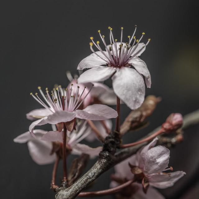 Fleuraison