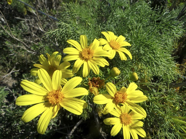 giant coreopsis flowers