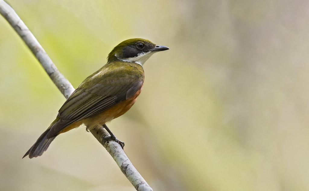 Heterocercus flavivertex - Yellow-crowned Manakin - Saltarín Crestiamarillo - Saltarín Collarejo 02