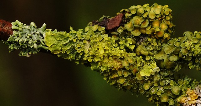 It is raining and raining and the lichen of the garden are thriving - quite nicely.