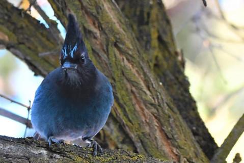 Steller's jay bird.