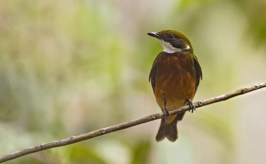 Heterocercus flavivertex - Yellow-crowned Manakin - Saltarín Crestiamarillo - Saltarín Collarejo 04