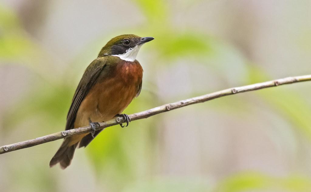 Heterocercus flavivertex - Yellow-crowned Manakin - Saltarín Crestiamarillo - Saltarín Collarejo 03