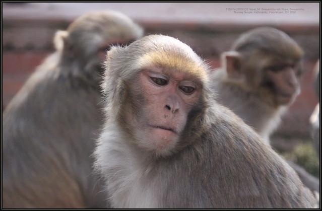 Macaca mulatta, Rhesus macaque, Rezus makaki, 7539 Fa, 20200130 Nepal, Swayambhunath Stupa, Swayambhu, Monkey Temple, Kathmandu,  Foto Mirjam, 30.I.2020.