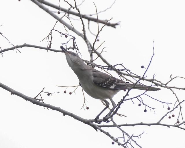 Northern Mockingbird eating Hackberries - 1 - 2